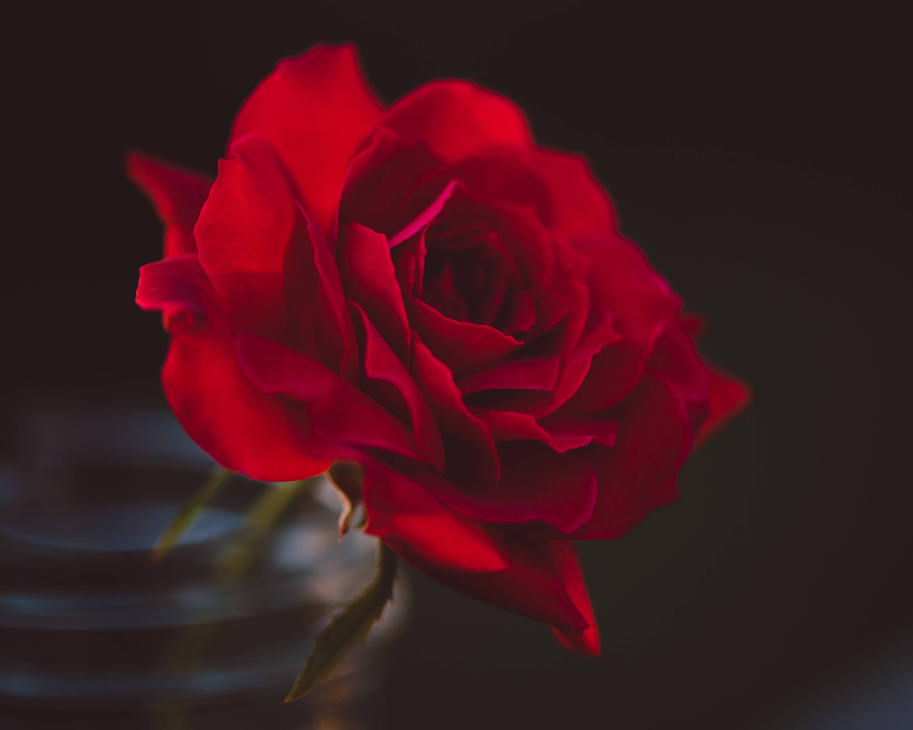 Rose Art Photography Red Rose Red Rose Photography Red Rose For Latest Red Rose Wall Art (View 16 of 20)