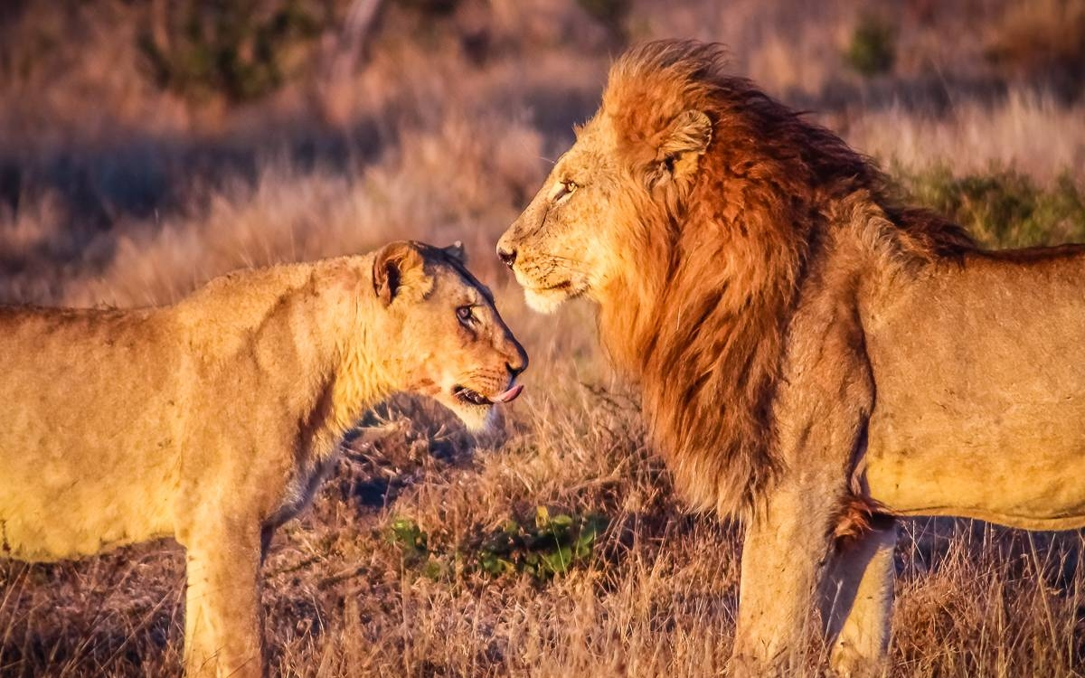 Lions In Love – Rogue Aurora Photography For Latest Safari Metal Wall Art (View 5 of 20)