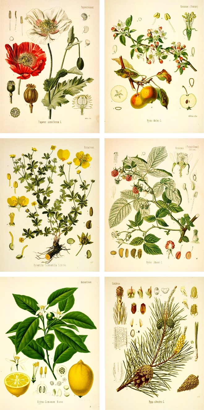 Botanical Drawings | Free Botanical Prints | Art | Pinterest In Recent Framed Botanical Art Prints (View 11 of 15)