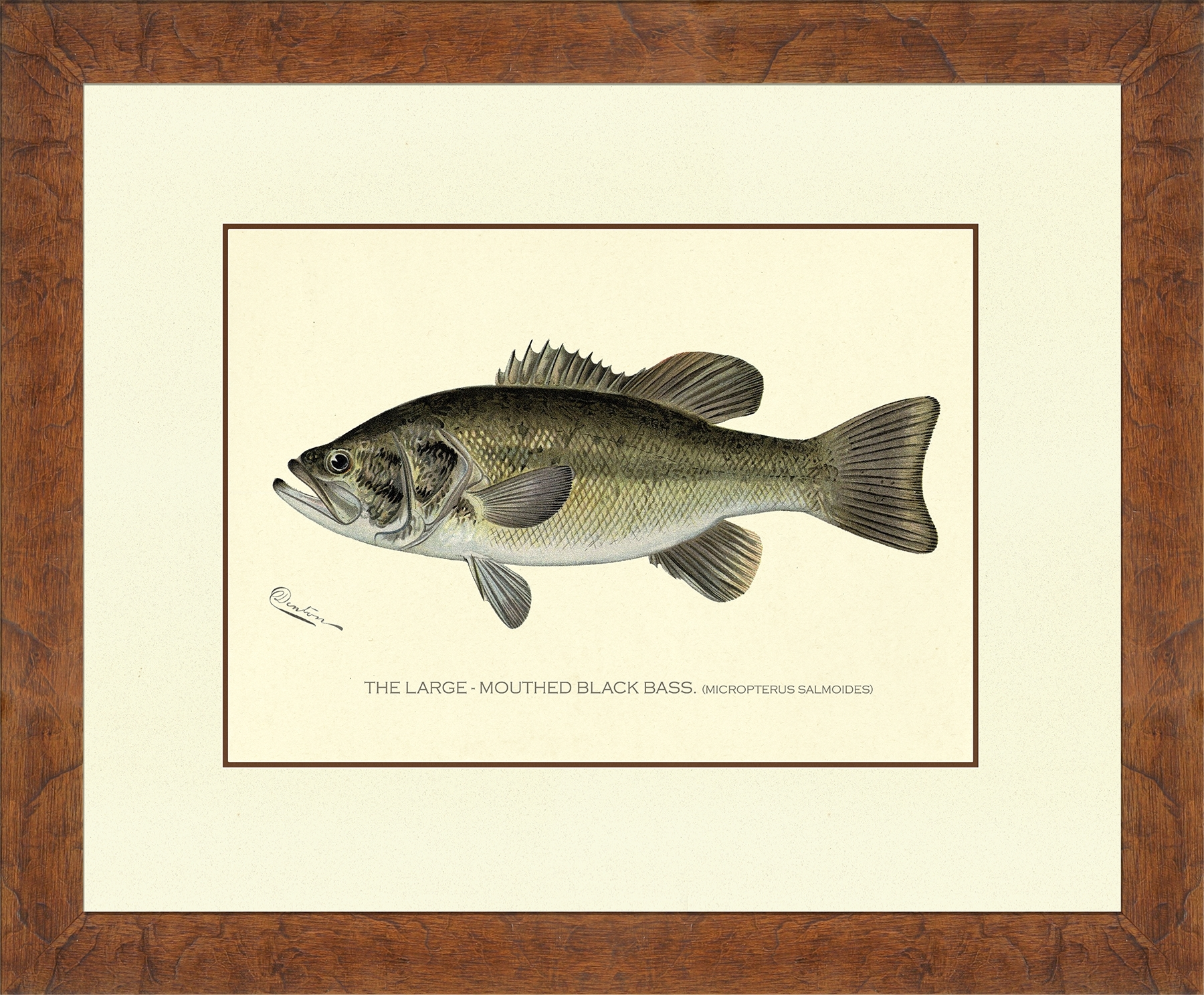 Denton Fish : Nostalgia Fine Art - Antique Prints - Giclee Prints regarding Best and Newest Bass Framed Art Prints