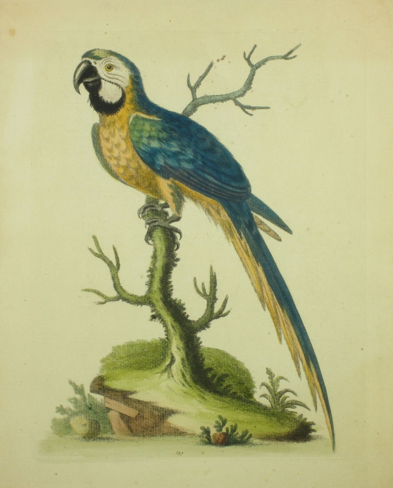 George Edwards Bird Print Blue Yellow Macaw Framed 16.5Hx 14.5W Regarding Best And Newest Birds Framed Art Prints (Gallery 14 of 15)