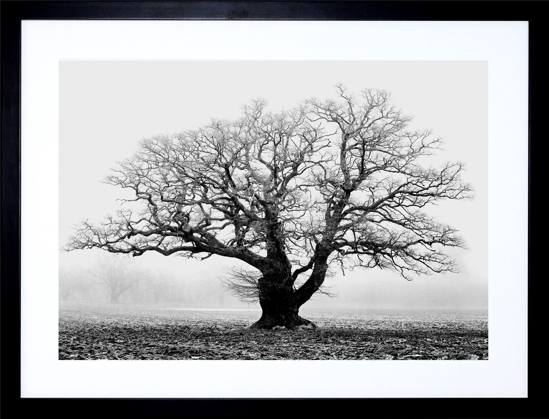 Old Oak Tree Black White Mist Fog Photo Framed Art Print Picture in Most Current Black And White Framed Art Prints