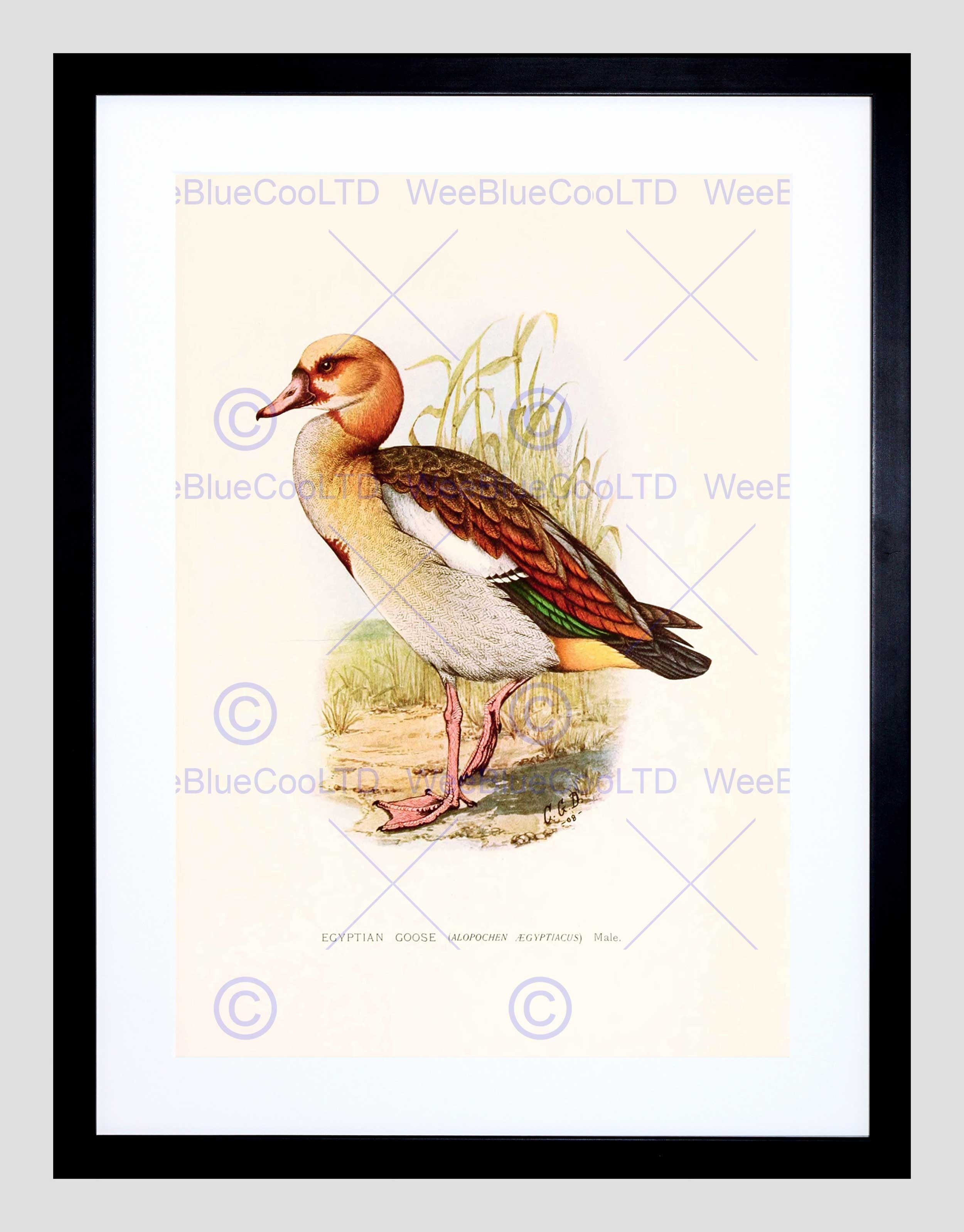 Painting Birds South Africa Horsbrugh Egyptian Goose Framed Art With Latest South Africa Framed Art Prints (View 8 of 15)