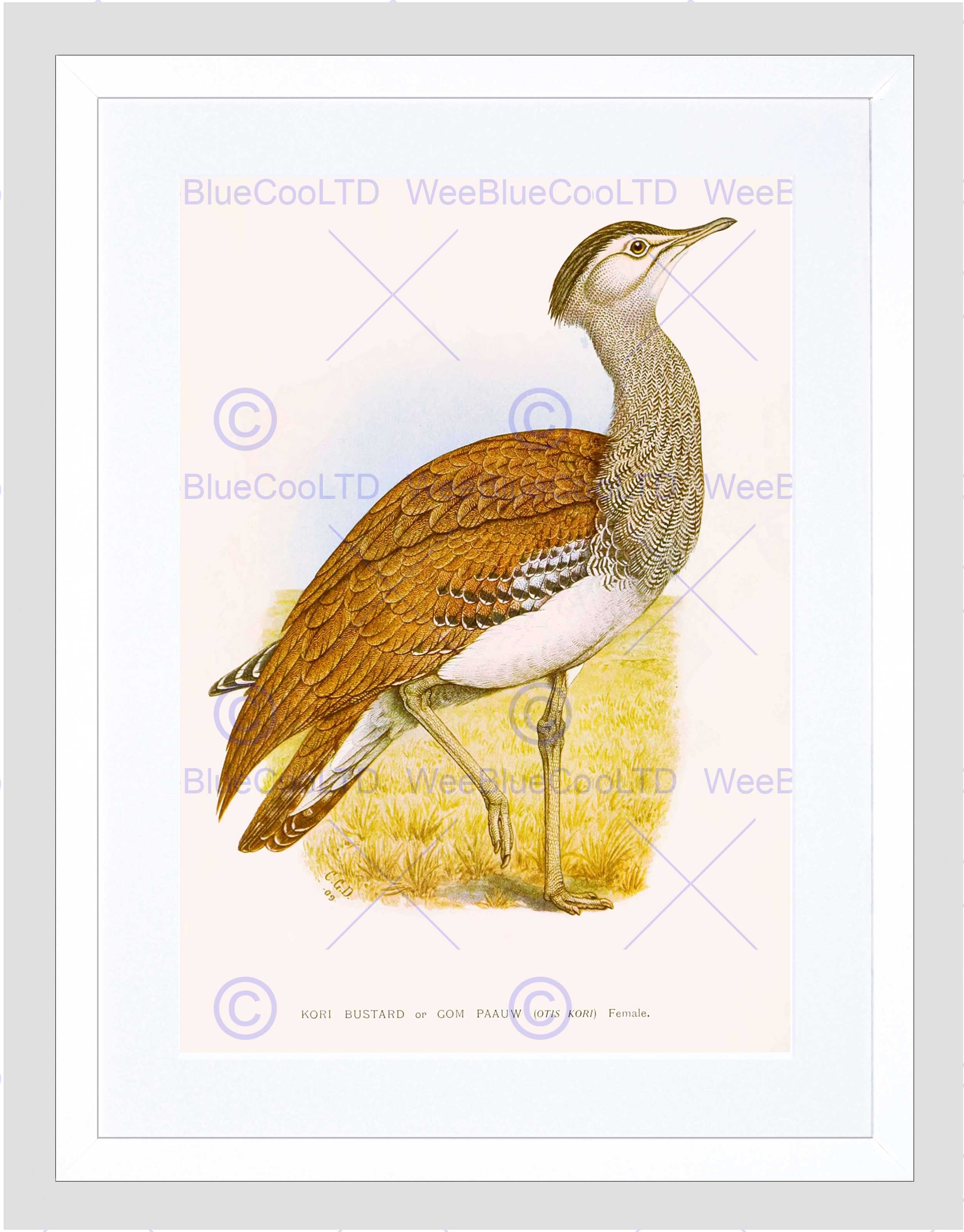 Painting Birds South Africa Horsbrugh Kori Bustard Framed Art Pertaining To Recent South Africa Framed Art Prints (Gallery 9 of 15)