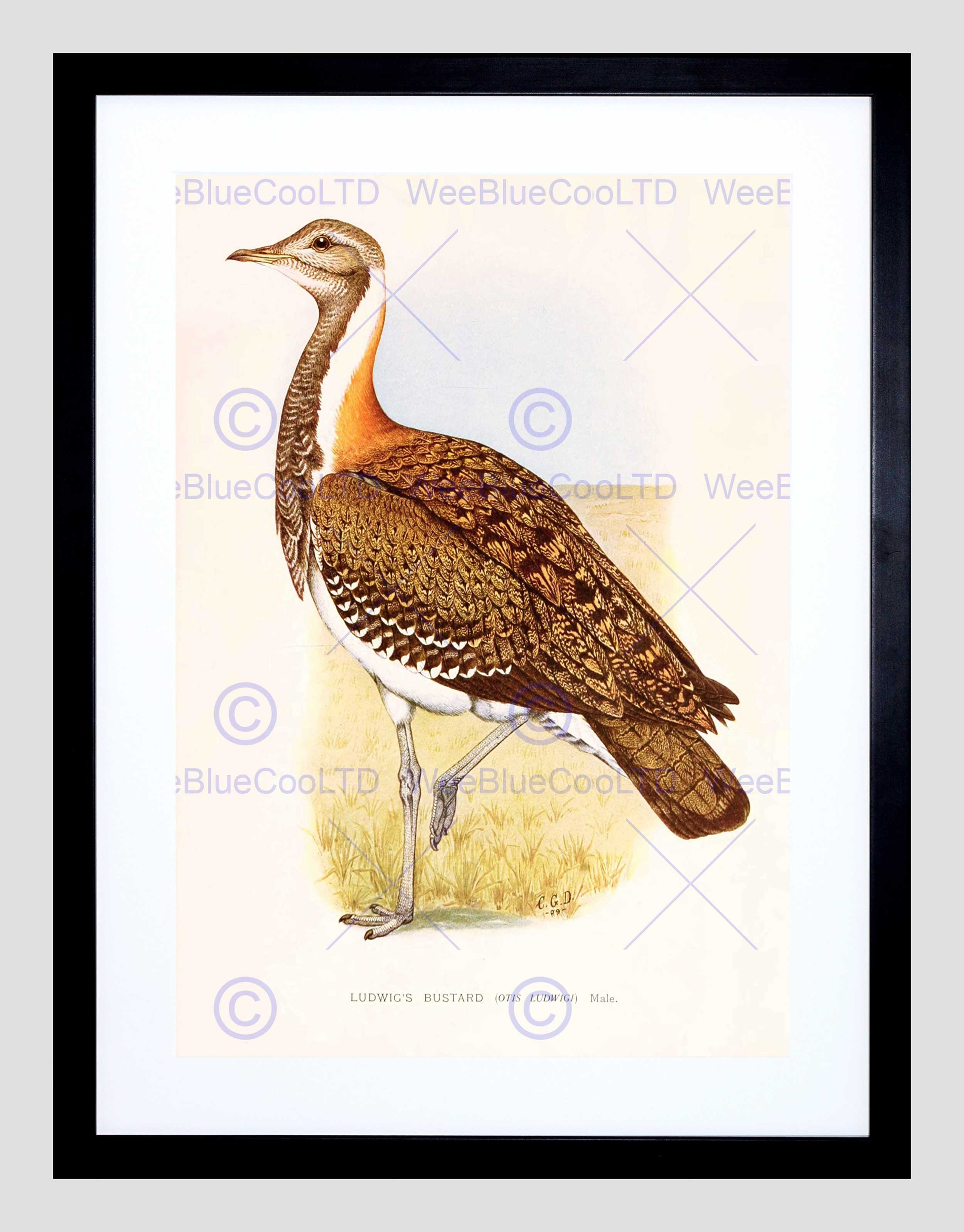 Painting Birds South Africa Horsbrugh Ludwigs Bustard Framed Art Throughout 2018 South Africa Framed Art Prints (View 8 of 15)
