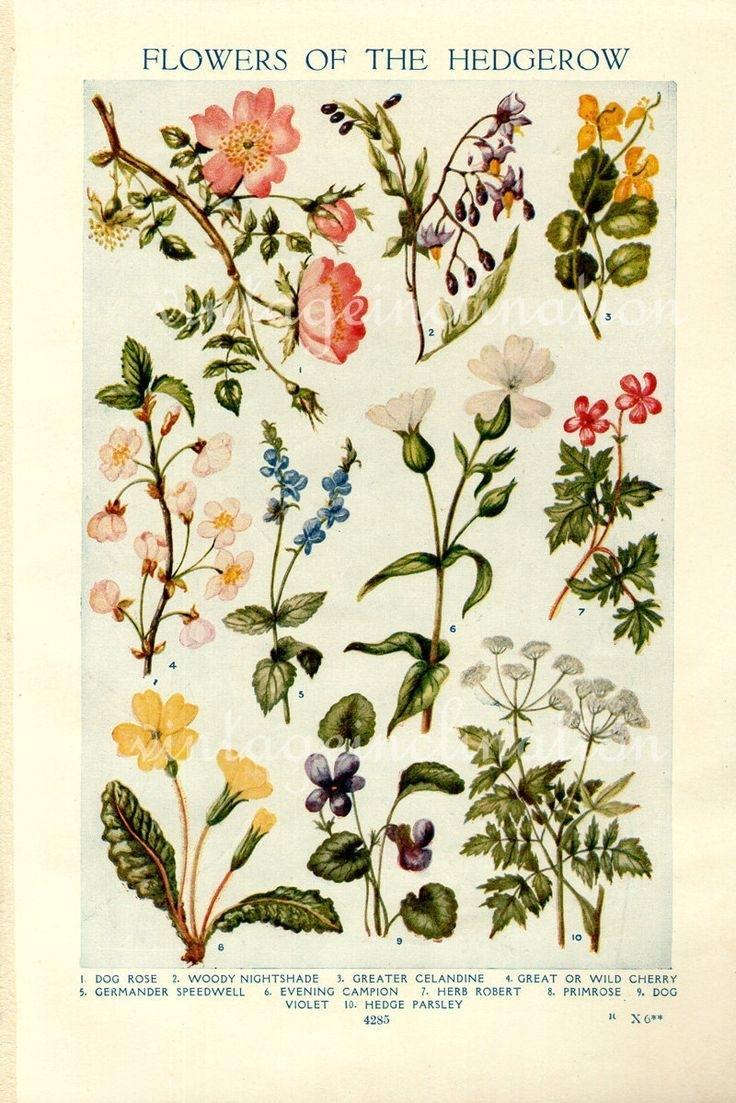 Vintage Botanical Prints – Flowers Of The Hedgerows – 1933 Inside Recent Framed Botanical Art Prints (Gallery 13 of 15)