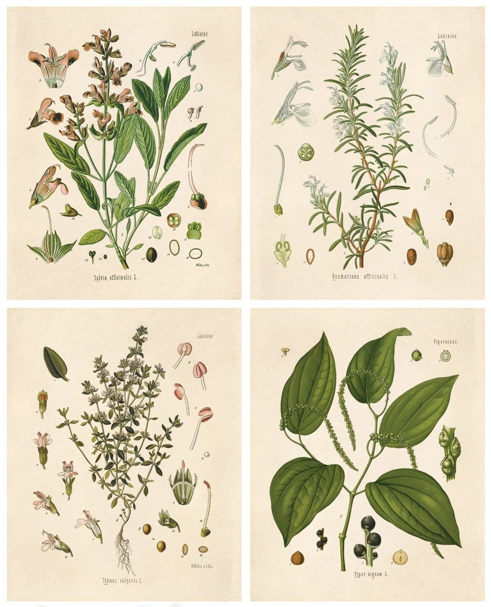 Botanical Herb Print Set. Kitchen Art Posters Set Of  (View 4 of 20)