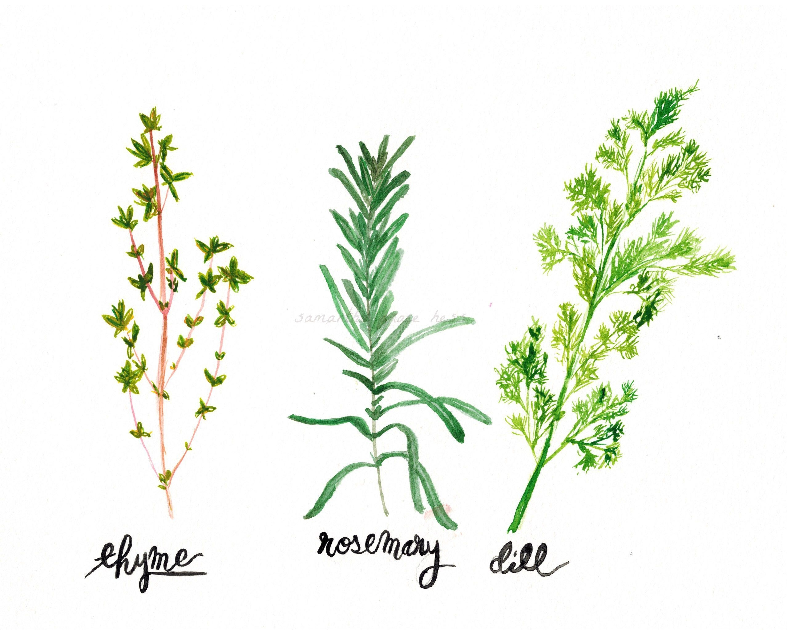 Kitchen Decor, Original Watercolour Painting, Kitchen Wall Art, Herb With Regard To 2018 Herb Wall Art (View 15 of 20)