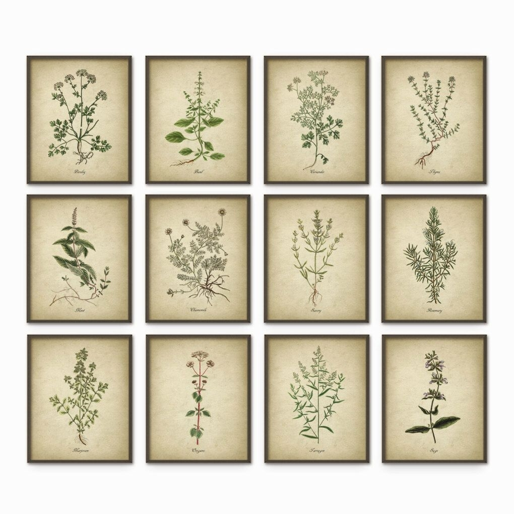 Kitchen Herbs Wall Art Print Set Of 12 – Vintage Botanical Herb Pertaining To Latest Herb Wall Art (View 13 of 20)