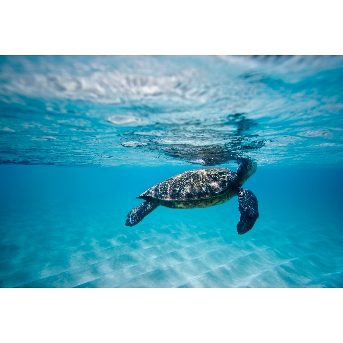Waimea Turtle – Canvas Print – Wall Art – Australia Regarding Most Current Sea Turtle Canvas Wall Art (View 20 of 20)