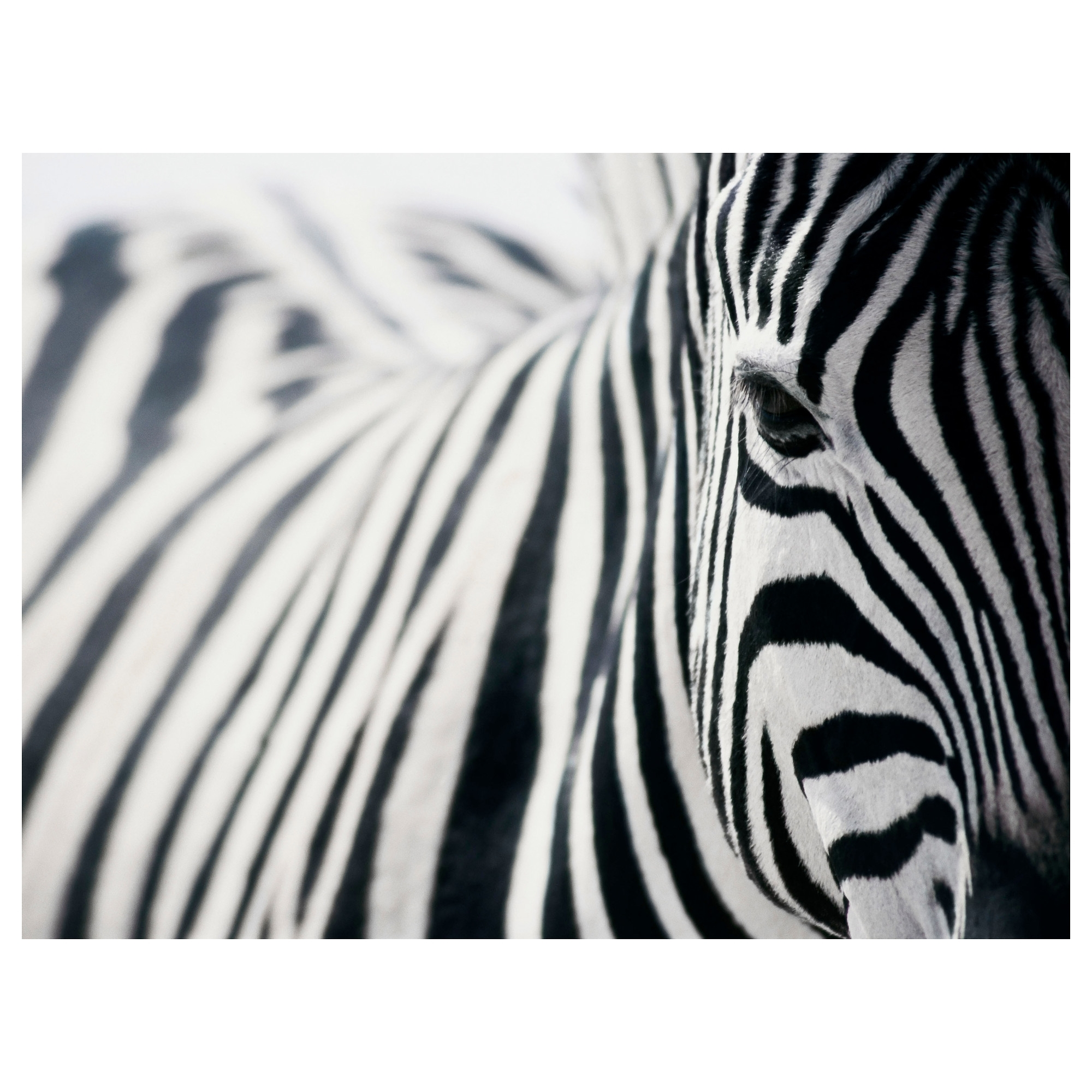 Zebra Canvas Wall Art – Culturehoop With Most Recently Released Zebra Canvas Wall Art (View 4 of 20)