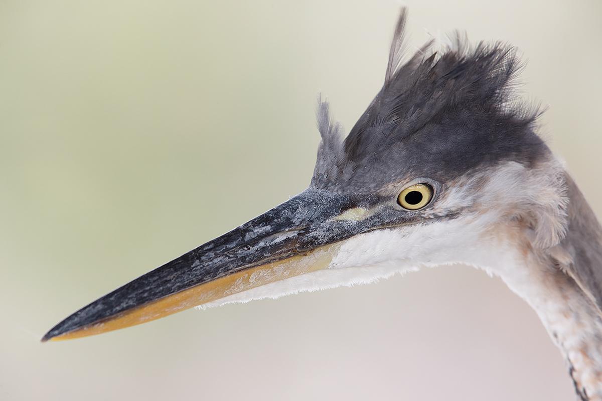 Birds As Art Bulletin #455 « Birds As Art In 2020 Osceola Double Heron Wall Decor (View 12 of 20)